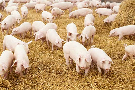 Vrednost odkupljene živine v maju 2021 višja kot v maju 2020
