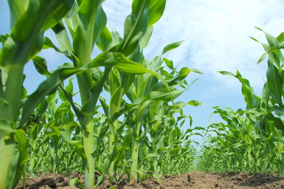 High yield of maize for grain (10.4 t/ha) and for silage (51.3 t/ha) expected