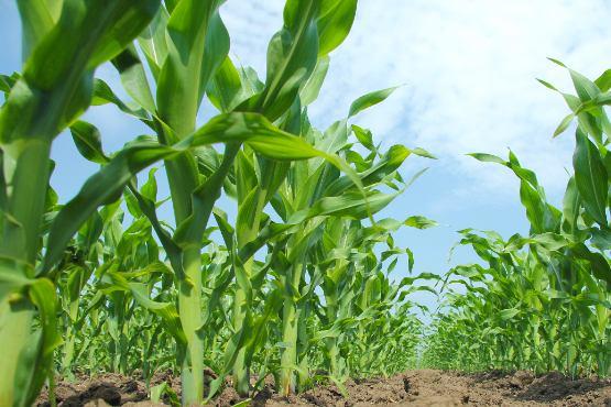 Cene kmetijskih pridelkov pri pridelovalcih v maju 2020 ostale na isti ravni kot v maju 2019
