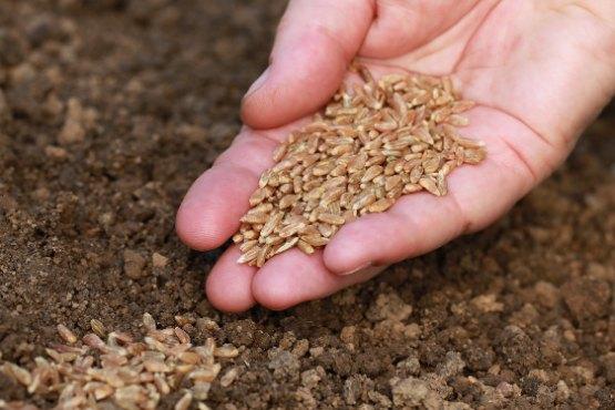 S krušnimi žiti posejana v jeseni 2019 za 1,1 % manjša, s krmnimi pa za 1,2 % večja površina kot v jeseni 2018