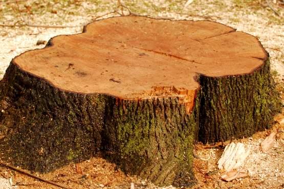 Vrednost odkupa okroglega lesa v oktobru 2019 za približno 1 % nižja kot v oktobru 2018