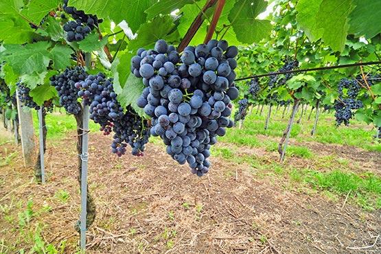 Bela vina so predstavljala 66 % skupne proizvodnje vin
