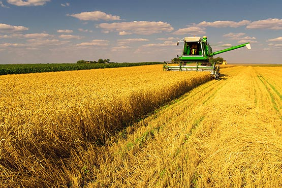 Area sown with wheat decreased by almost 3,200 hectares in 2017