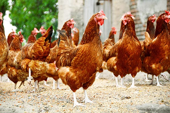 According to provisional data, in 2016 bovine, pig, poultry and goat meat production increased, compared to 2015